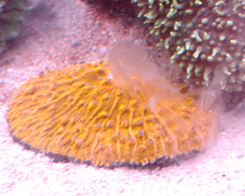 Fungia-spawning.jpg