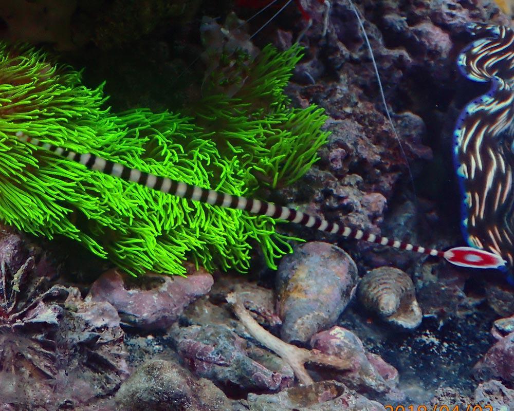 pipefish.jpg.9b85db778420e181c04773b3eaf10f50.jpg
