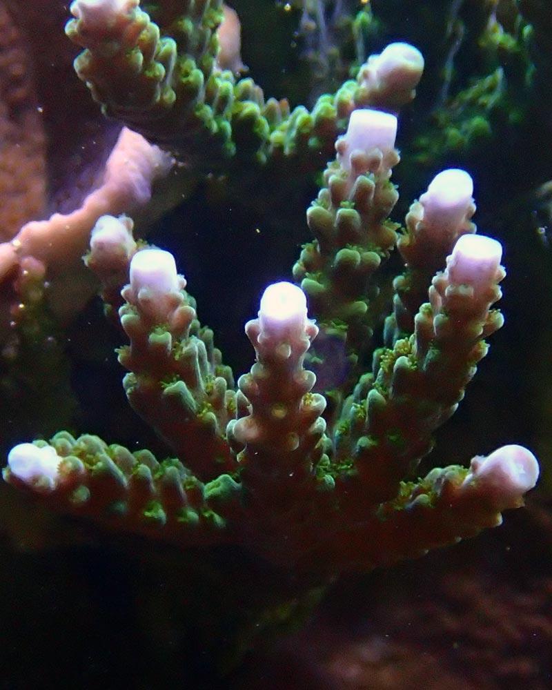 coral2.jpg.34a5f94ec4ad9b0fbc1410b00a513365.jpg