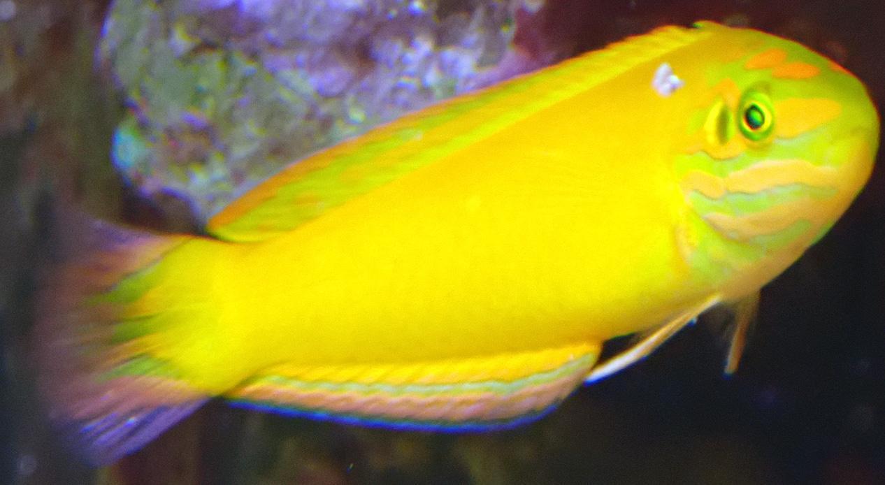 yellow-wrasse2.jpg.473205a4d09e3f2c8889f4c1e29da82e.jpg