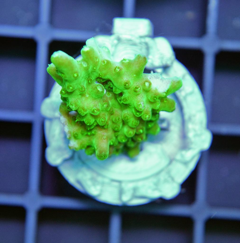 A007 Acropora solitaryensis CTO 1.jpg