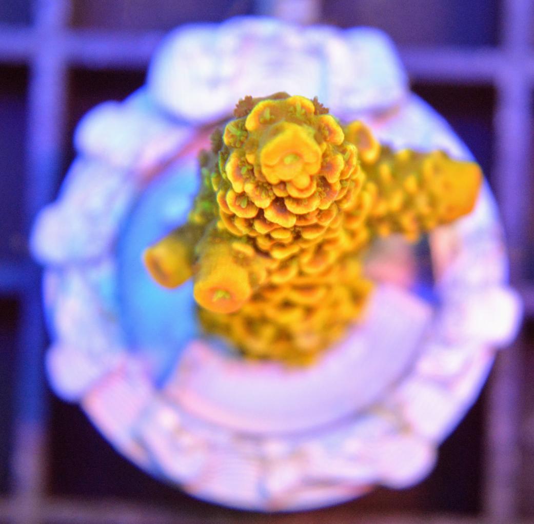 A015 Acropora spathula golden CTO 1 filter.jpg