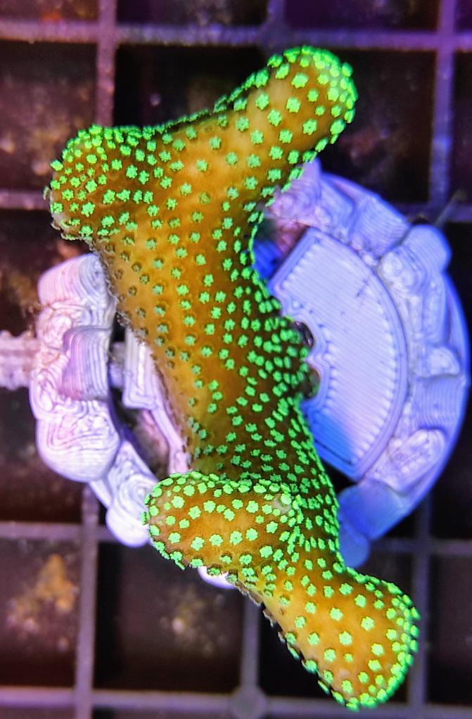 S202 Stylopora pistillata CTO 5.jpg