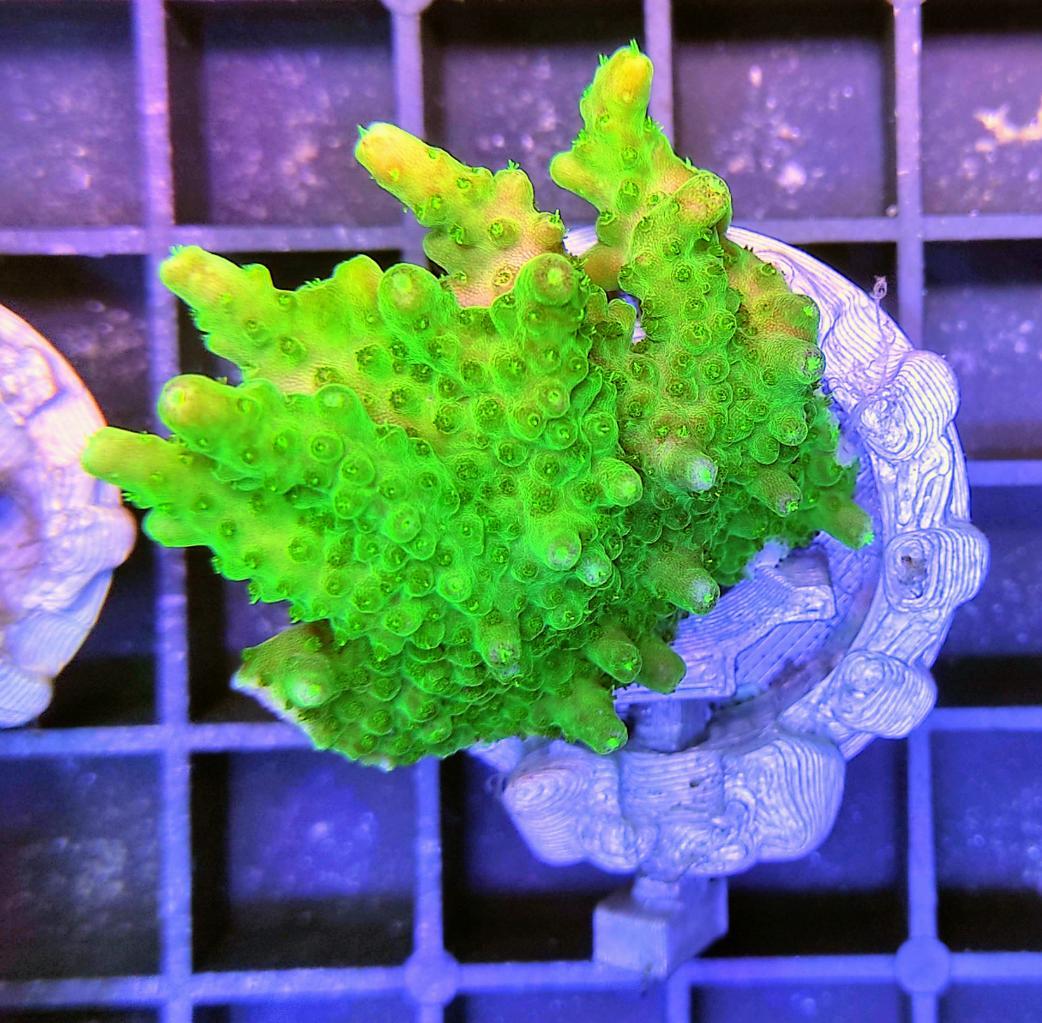 A007 Acropora solitaryensis CTO 2 filter.jpg