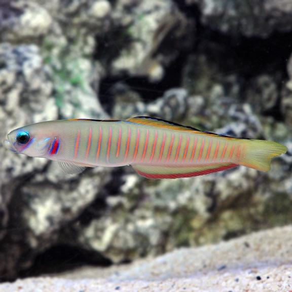 Zebra dartfish.jpg
