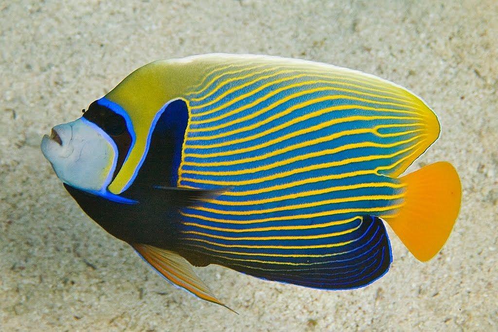 pomacanthus imperator.jpg