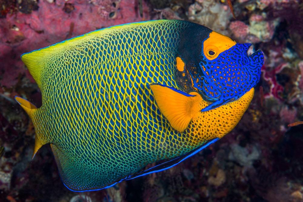 pomacanthus xanthometopon.jpg