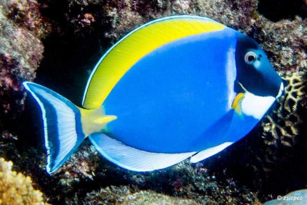 Acanthurus-leucosternon-Powderblue-Surgeonfish-600x400.jpg